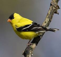 Image of the American Goldfinch
