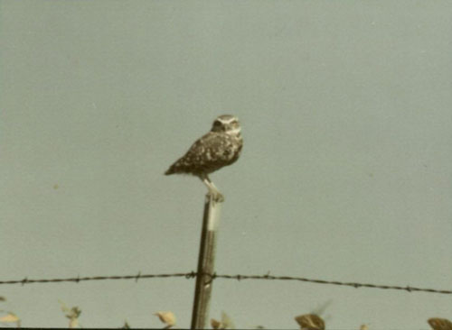 Colored image of the Burrowing Owl in Ames, Iowa