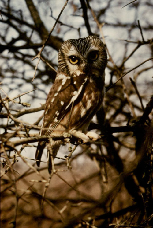 Colored image of the Northern Saw-whet Owl in Iowa City, Iowa