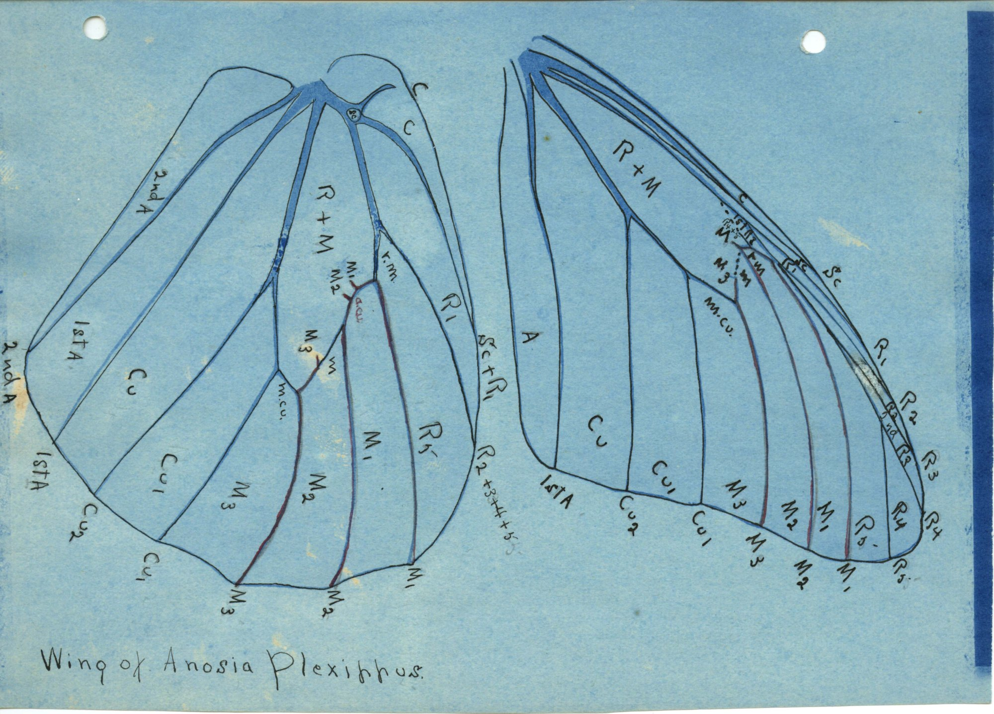 Colored image of a drawing of wings of Anosia Plexippus