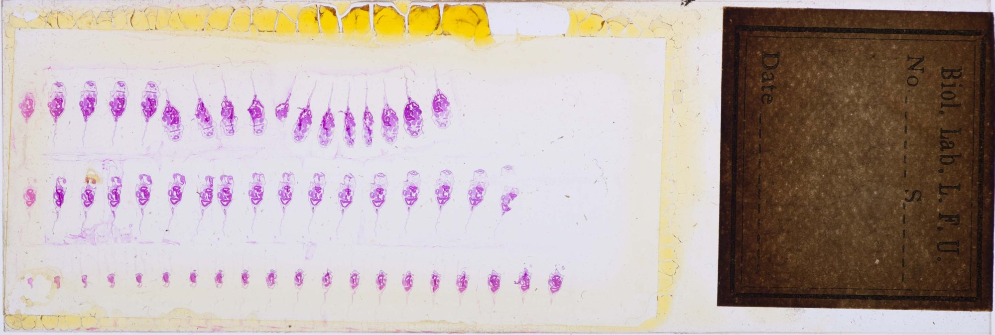 Colored image of a microscope slide of frontal sect. of ext. gill