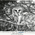Black and white image of the Saw-whet Owl
