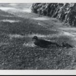 Black and white image of Mother Wood Duck and her ducklings