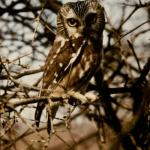 Colored image of the Northern Saw-whet Owl in Iowa City
